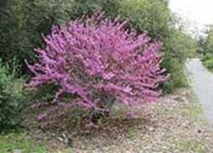 Western Redbud