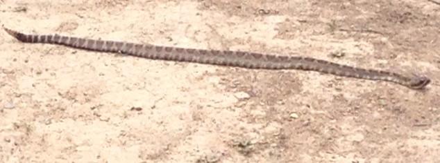 rattle_snake_2