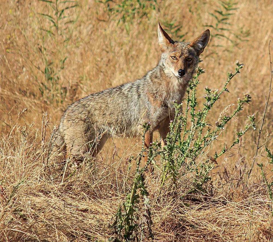 david_allen_coyote